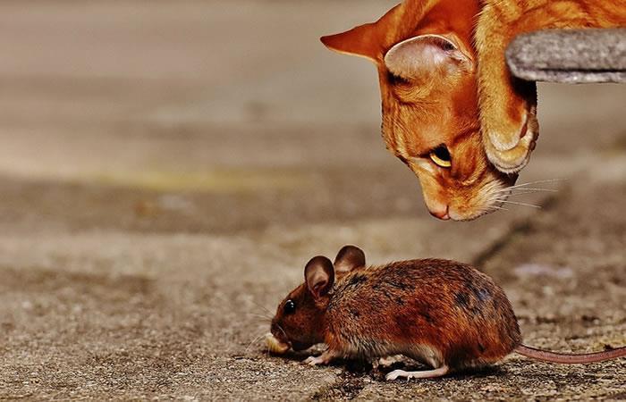 Imagenes de Depredadores Estudio-demuestra-que-el-miedo-de-los-ratones-a-los-depredadores-es-genetico-651475