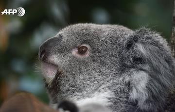 Secuencian genoma del koala, un paso enorme para preservarlo