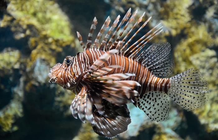 Descubren potencial anticancerígeno en el veneno del pez león
