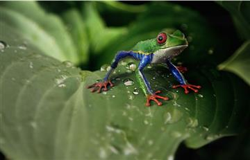 Redescubren cuatro anfibios en Colombia y Ecuador que se creían extinguidos