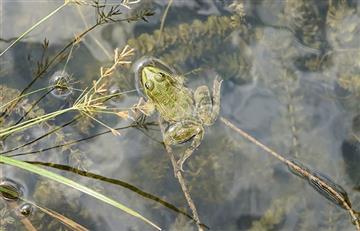Video: Graban a una rana que brilla por dentro luego de tragarse una luciérnaga