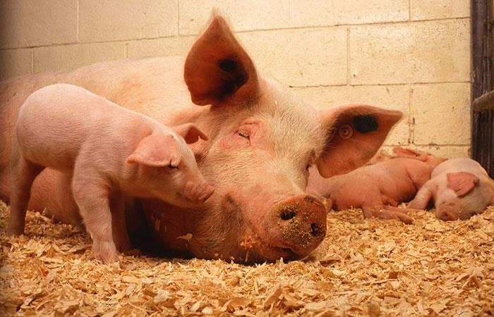 Un cerdo con cara de humano causa pánico entre la gente