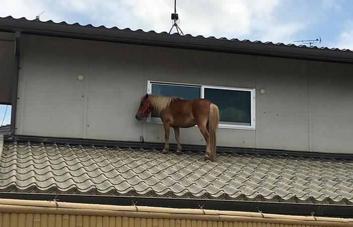 Pony se salvó de las inundaciones subiendo a un tejado y su hazaña conmueve en redes