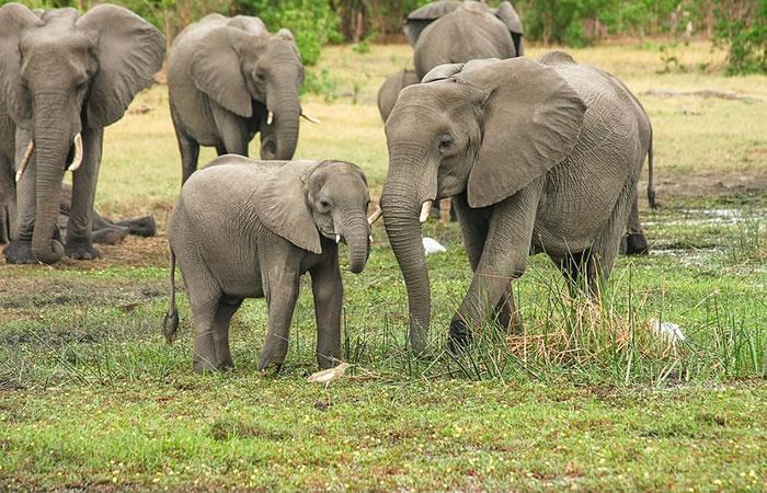 Inteligencia artificial salvaría a los elefantes del Congo