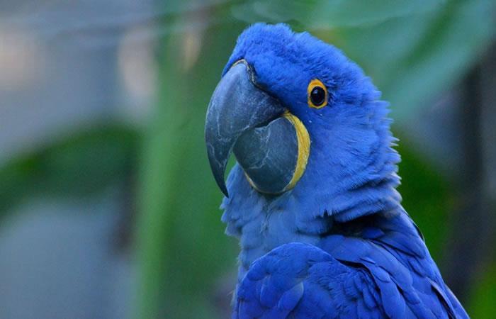 Declaran extinto al Guacamayo Azul que inspiró la película 'Río'