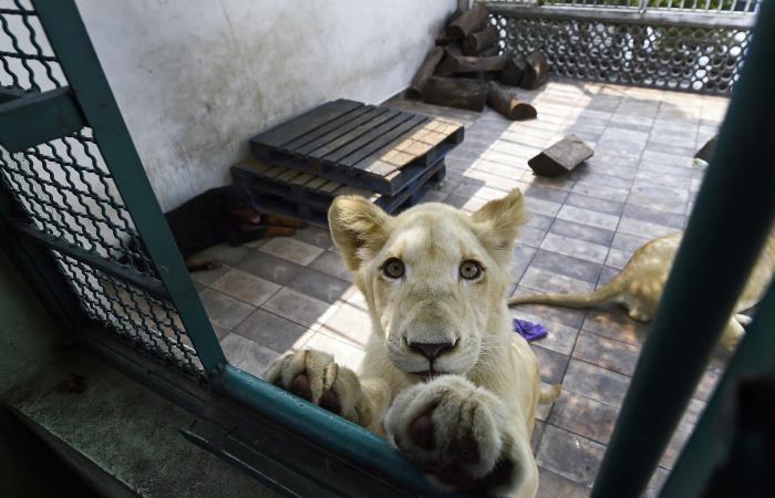 Numbi, uno de los tres leones propiedad del mexicano Omar Rodríguez. Foto: AFP
