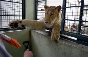 VIDEO: Leones como mascotas en Ciudad de México