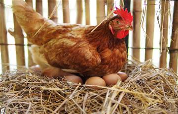 Las gallinas que ponen huevos con medicamentos sirven para combatir el cáncer