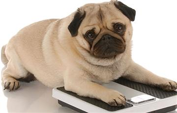 Si quieres evitar la obesidad en tus mascotas, sigue estos pasos