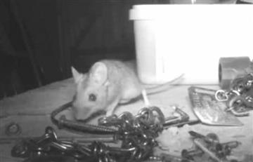 ¡No le creían! Un ratón ordenaba su taller todas las noches