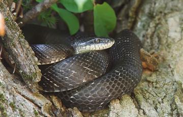 'Rata canguro' se salva de serpiente por una patada ninja