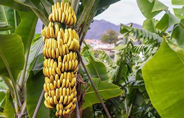Con estos increíbles beneficios que contiene el plátano gozarás de buena salud