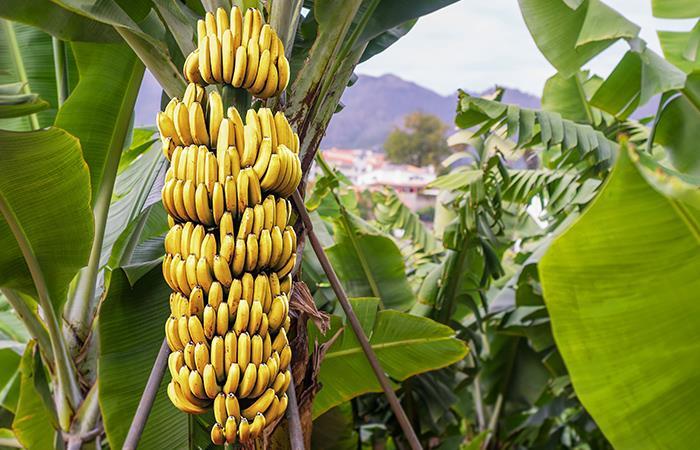 Aprovecha las propiedades del plátano y cuida tu salud