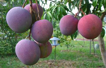La semilla del mango contiene gran cantidad de antioxidantes