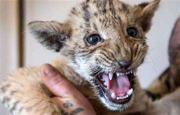Conozcan a Apolo; hijo de un león y tigresa