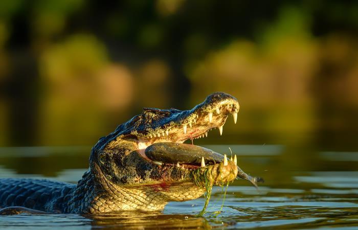 Hallan huevo de caimán aguja en el río Bogotá