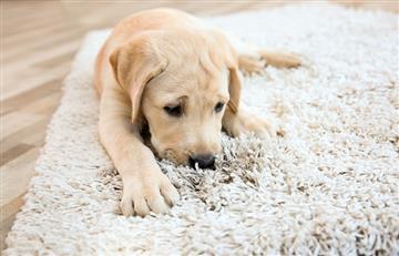 Si tu perro lame el suelo o la alfombra ¡Ten cuidado!