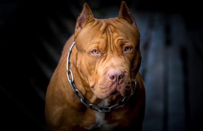 El perro asesinado era de raza pitbull. Foto: Shutter Stock
