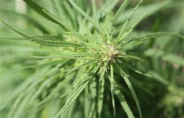 Colombia se compromete a agilizar trámites de licencias de cannabis medicinal