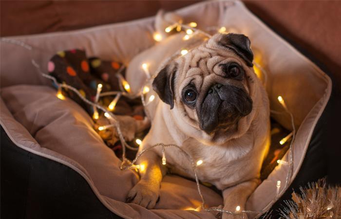 Las mascotas suelen estresarse por los escesivos ruidos de la época navideña. Foto: Shutterstock