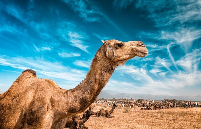 Australia sacrificará camellos por sequía en el país