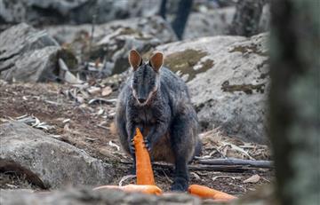 [VIDEO] Australia lanza comida a animales víctimas de los incendios forestales