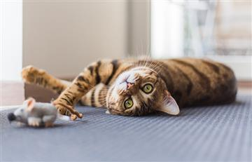 Así reducen los gatos el miedo de los ratones