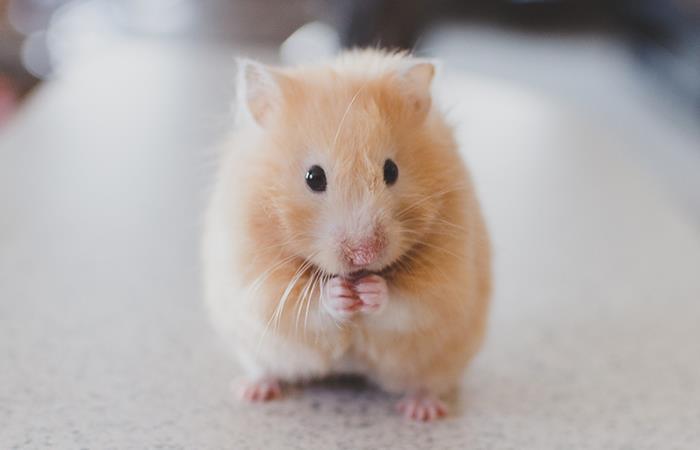 El estrés en los hamsters. Foto: Pixabay