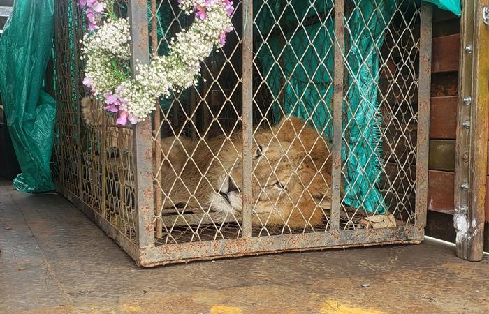 El león 'Júpiter' ya llegó a Cali para su recuperación