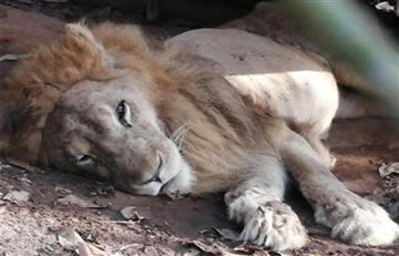 Desgarradora noticia: Colombia se despide de Júpiter, el león