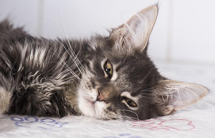 Primer caso coronavirus gatos