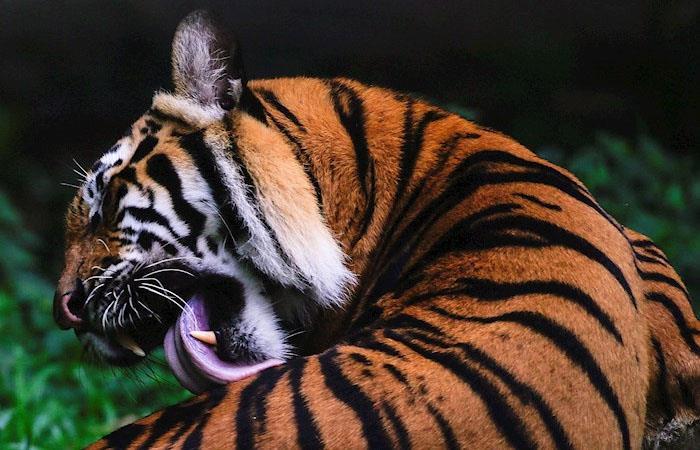 El primer tigre se contagió a principios de abril. Foto: EFE