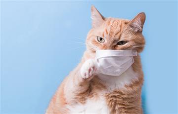 Los felinos son una especie susceptible al coronavirus