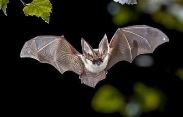 Organismo murciélagos nos enseñaría superar coronavirus