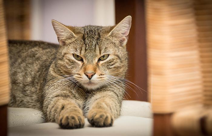 Este es el gato 'malhumorado' de las redes. Foto: Pixabay