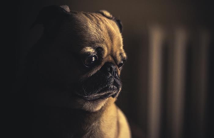 Un perro llora desconsolado al volver a escuchar y ver a su dueña. Foto: Pixabay