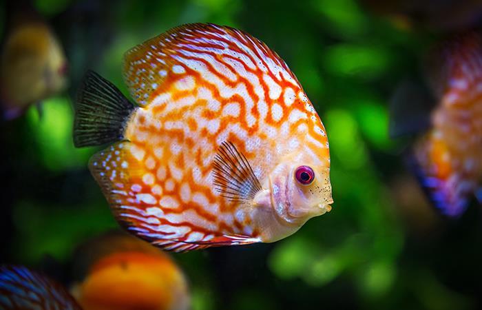Hormona en peces sería clave para estimular la fertilidad. Foto: Pixabay