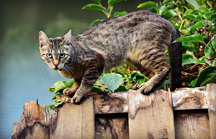 Toyger: El gato-tigre creado en un laboratorio