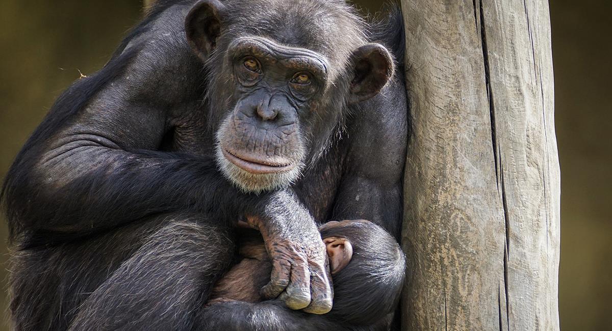 Algunos chimpancés tienen un hueso en el corazón. Foto: Pixabay