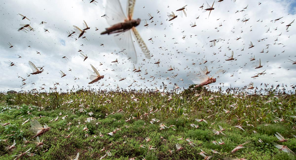 La plaga de langostas ya pasó por Paraguay y Argentina. Foto: Twitter @Horadelaverdad