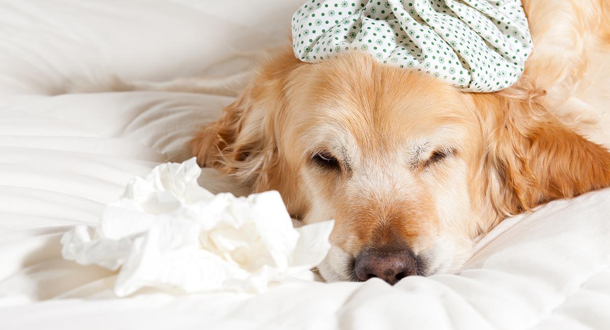 Estos son los síntomas de la gripe en los perros. Foto: Shutterstock