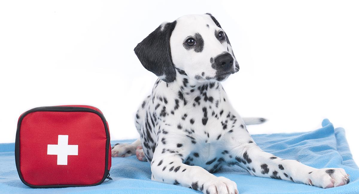 Así debes dar primeros auxilios a tu mascota. Foto: Shutterstock