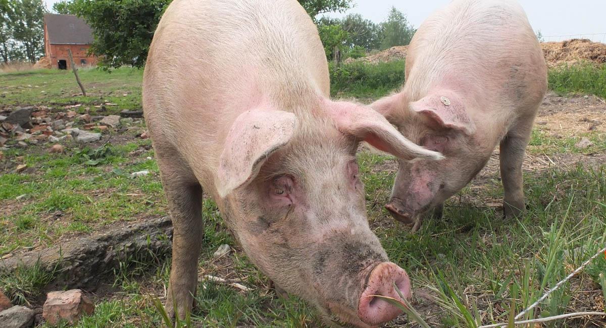 La pandemia de gripe porcina de 2009 dejó más de 493 mil personas contagiadas. Foto: Pixabay