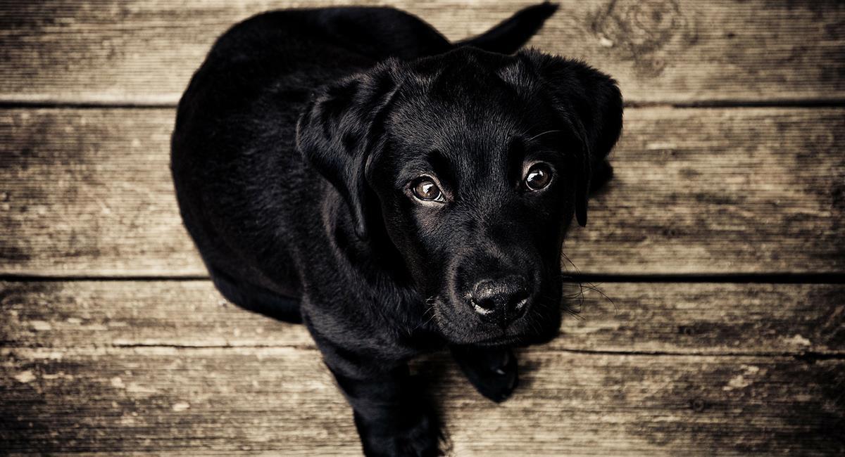 Conoce la enfermedad que se esconde tras la belleza de los perros de pelaje azul. Foto: Pixabay