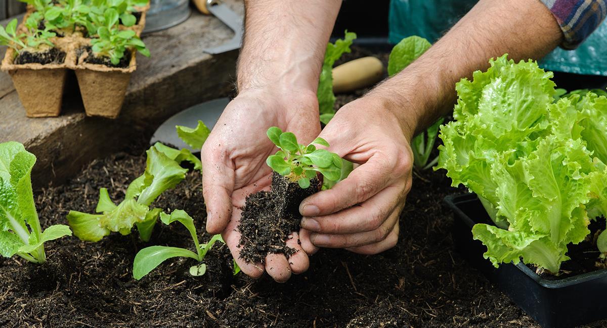 Crea una mini huerta en casa sembrando estos 5 vegetales. Foto: Shutterstock