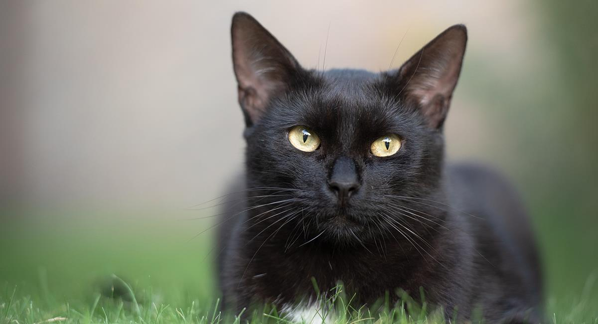 En Alemania, cruzarse con un gato negro es de buena suerte. Foto: Pixabay