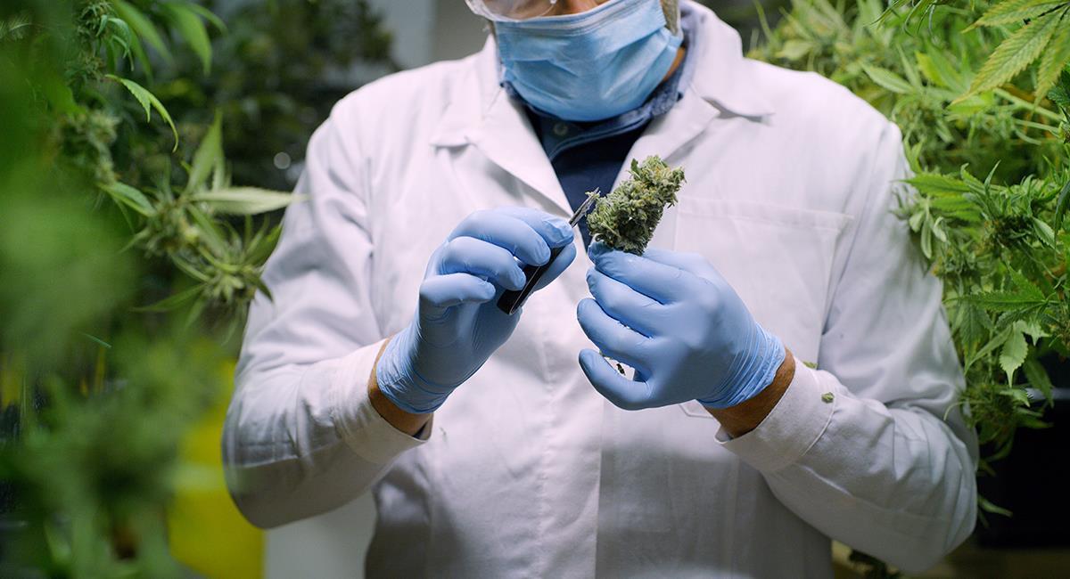 Estudian potencial tratamiento contra el COVID-19 a base de cannabis. Foto: Shutterstock