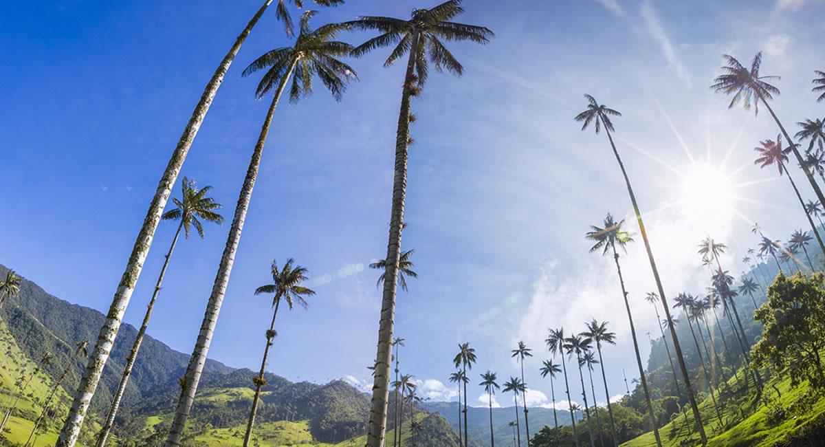 Las Palmas de Cera, es uno de los símbolos de Colombia  y está en el Quindío. Foto: Shutterstock