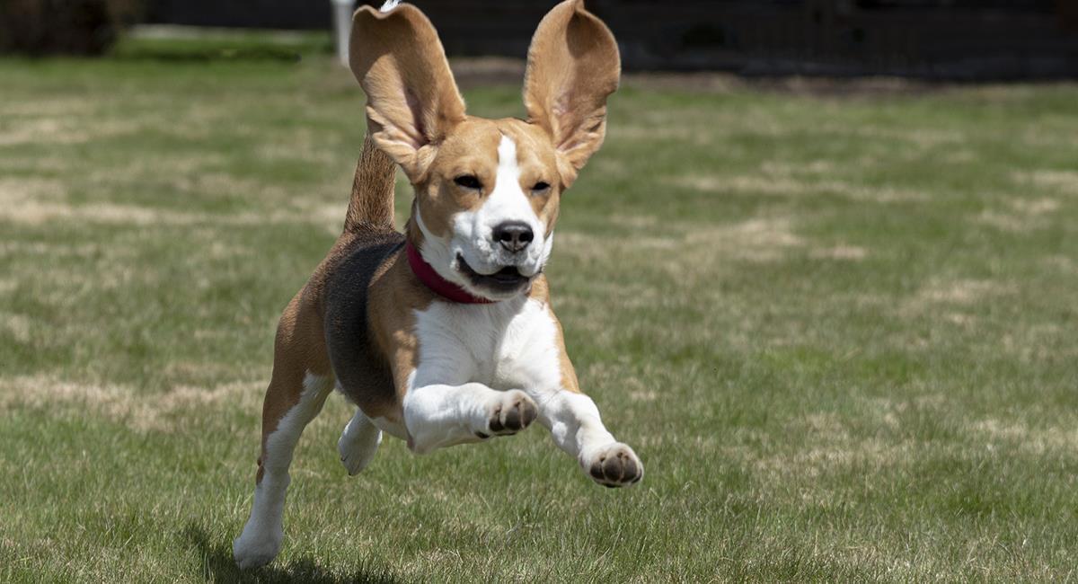 Hay algunas razas de perros que tienen más probabilidad de escapar de casa. Foto: Pixabay
