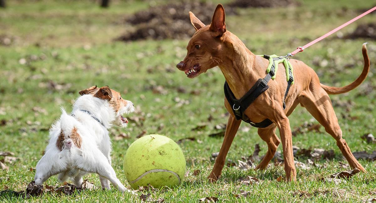 Esto es lo que debes hacer si tu perro es agresivo. Foto: Shutterstock